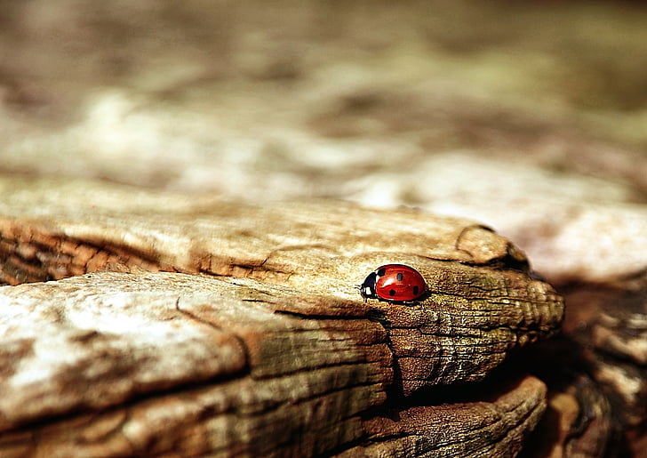 black and red Lady Bug on brown wood