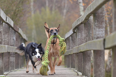 Belgian malinois biting a rope beside a long-coated white and black dog