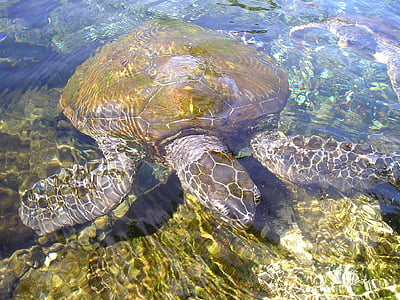 brown and gray turtle on body of water