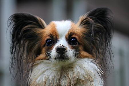 adult tricolor dog