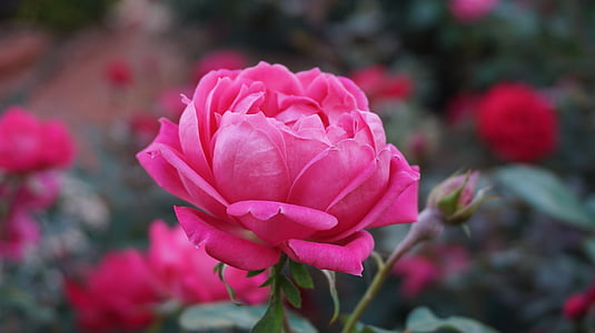 pink multi-petaled flower closeup photography