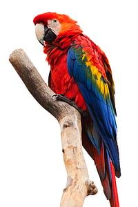 Ara chloropterus macaw
