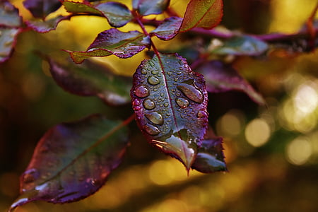 water dew on purple and green rose leaves