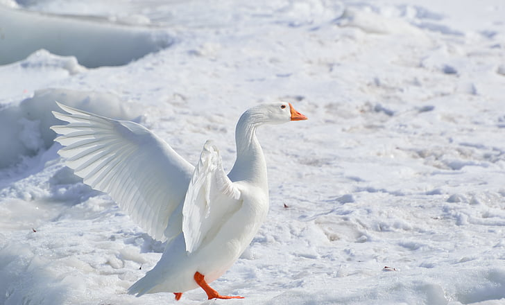 white goose flapping its wing