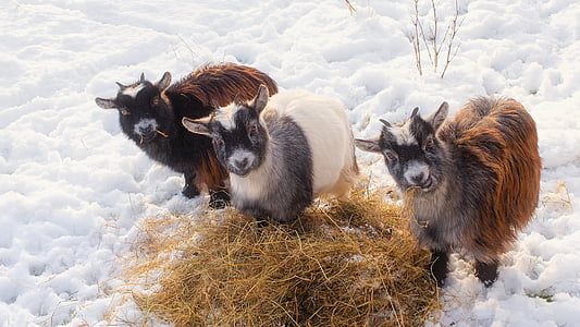 two brown and one white goat beside hay on snow
