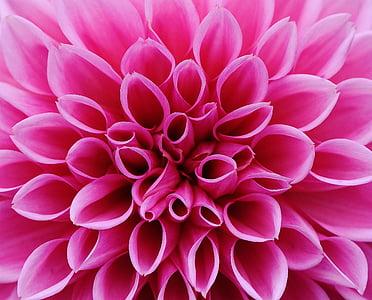 closeup photo pink petaled flower