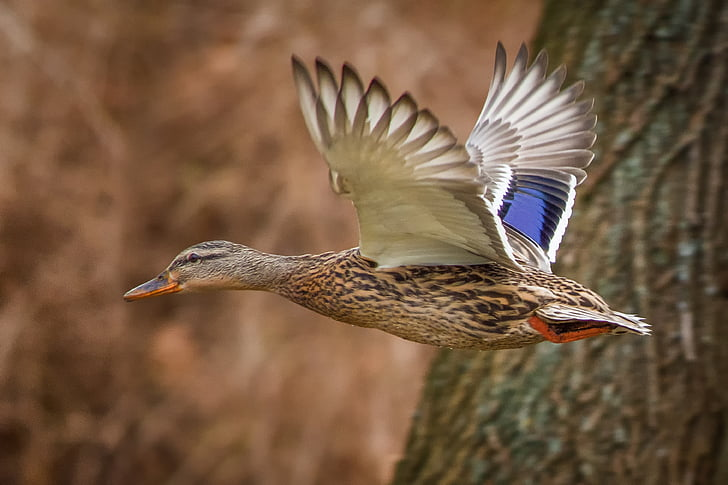 gray and white flying duck