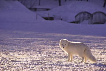 white snow fox on snowfield