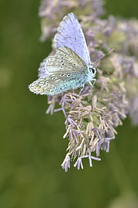 common blue butterfly perching on purple flower during daytime in close-up photography