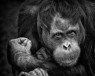 grayscale photo of ape