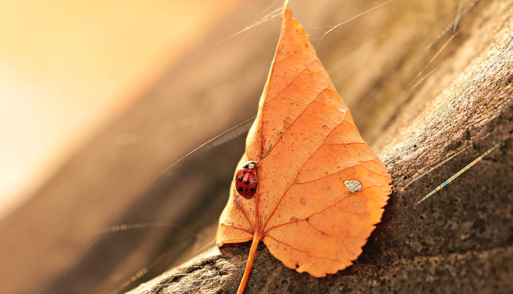 shallow depth of field photo of ladybug perch on dried leaf