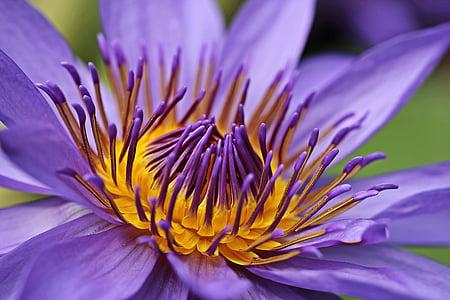 purple and yellow waterlily closeup photo