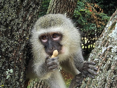 primate eating peanut